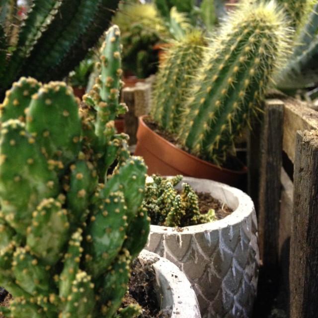 """""""Garden centre cacti"""" stock image"""