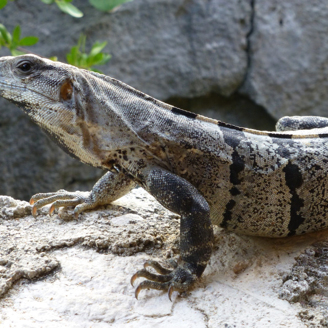 """Lizard in Mexico"" stock image"
