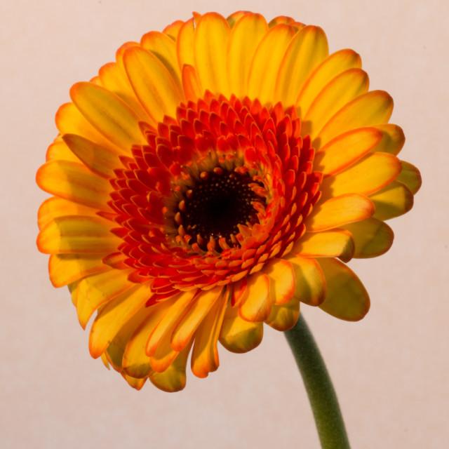 """Yellow Gerbera"" stock image"