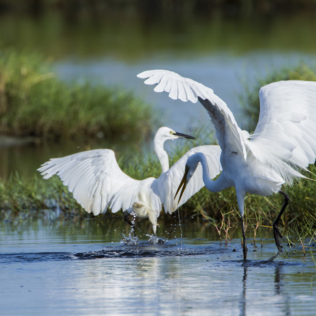 """Great egret in Arugam bay lagoon, Sri Lanka"" stock image"