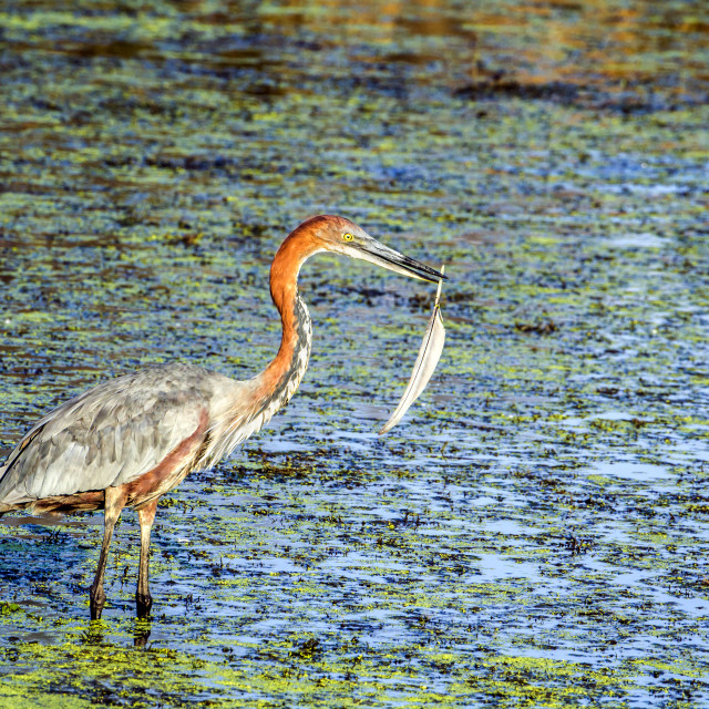"""Goliath heron in Kruger national park, South Africa"" stock image"