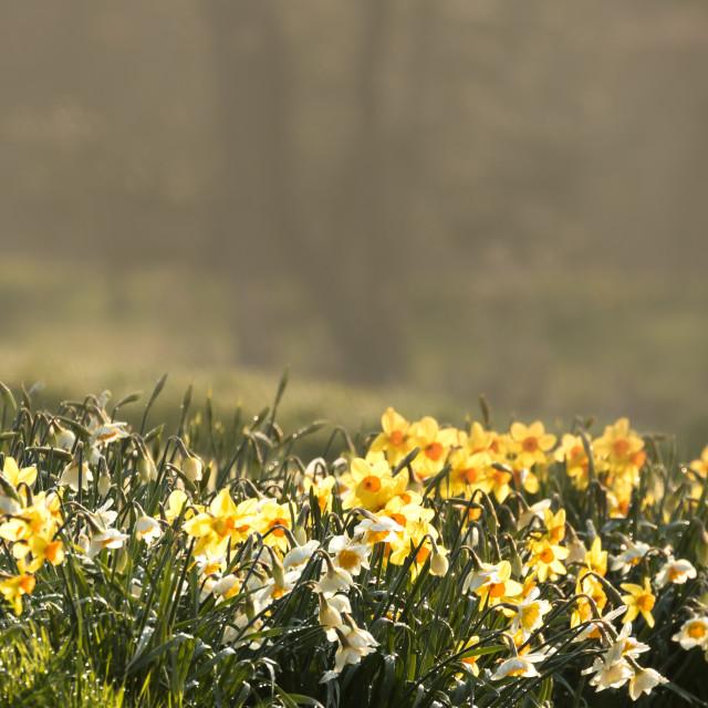 """Daffodils (3)"" stock image"