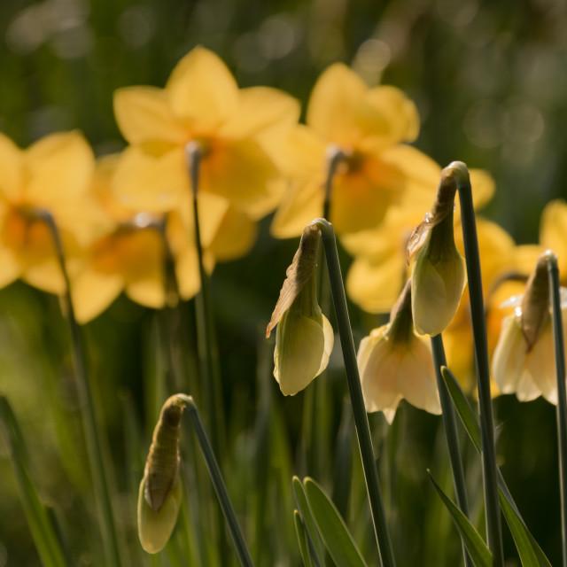 """Daffodils (2)"" stock image"