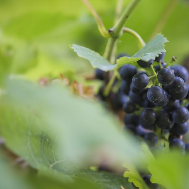 """Dark grapes"" stock image"