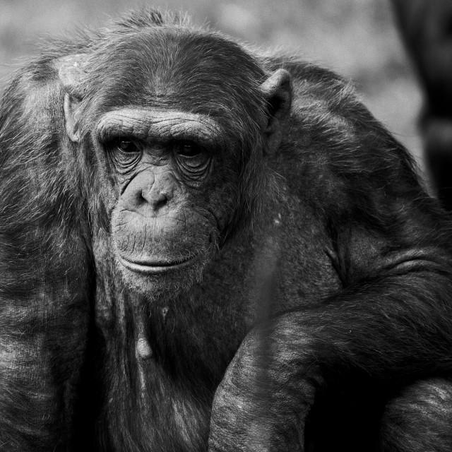"""Chimpanzee - pensive"" stock image"