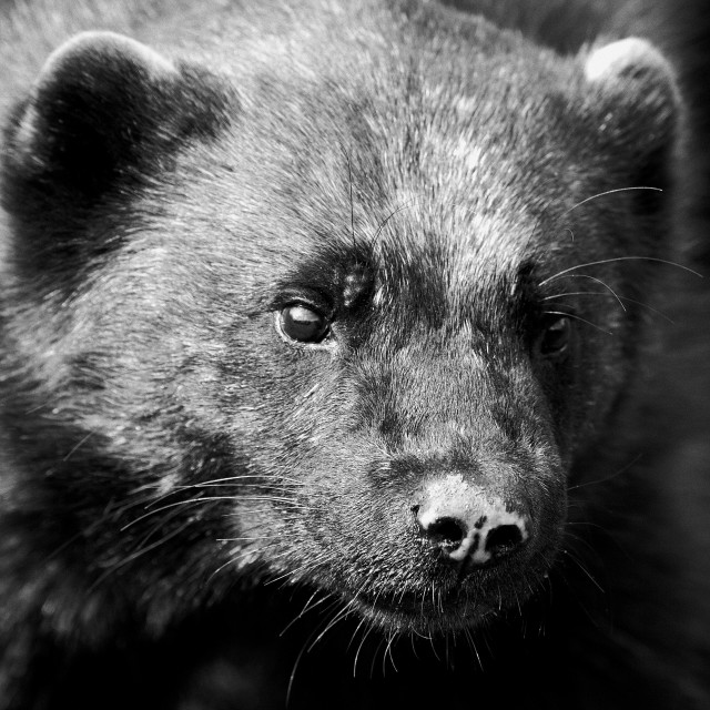 """Wolverine"" stock image"