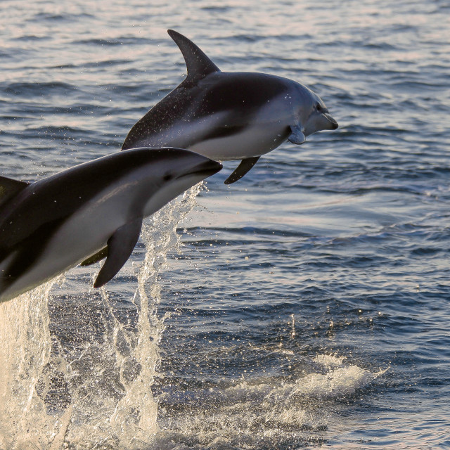 """""""Leaping Dusky Dolphins"""" stock image"""