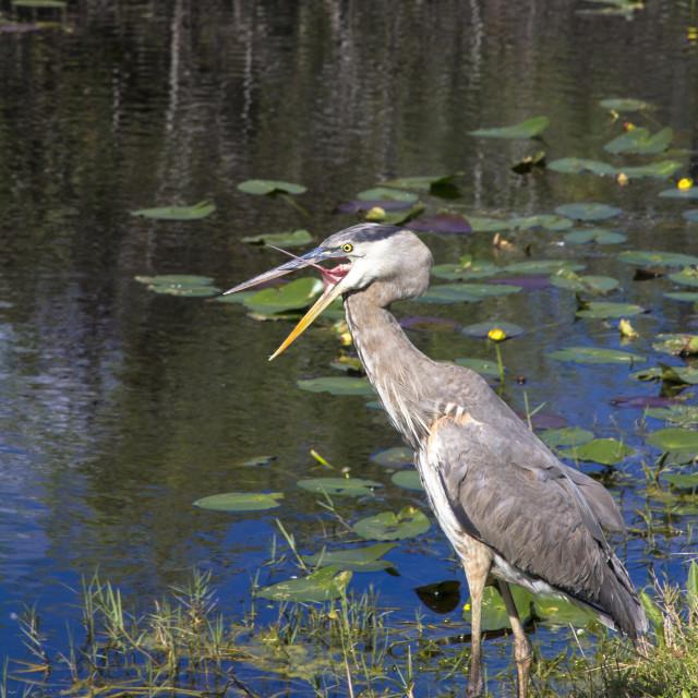 """""""Yawning heron"""" stock image"""