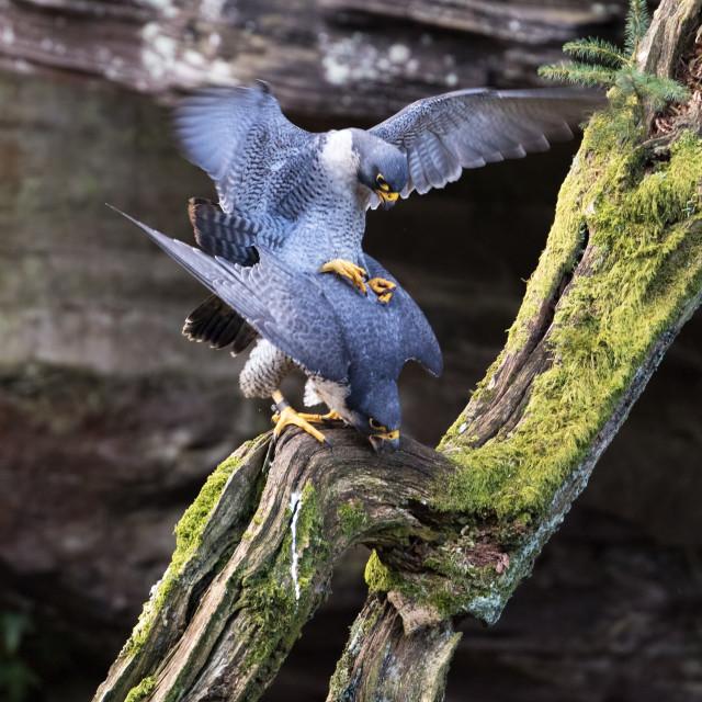 """Peregrine falcons"" stock image"