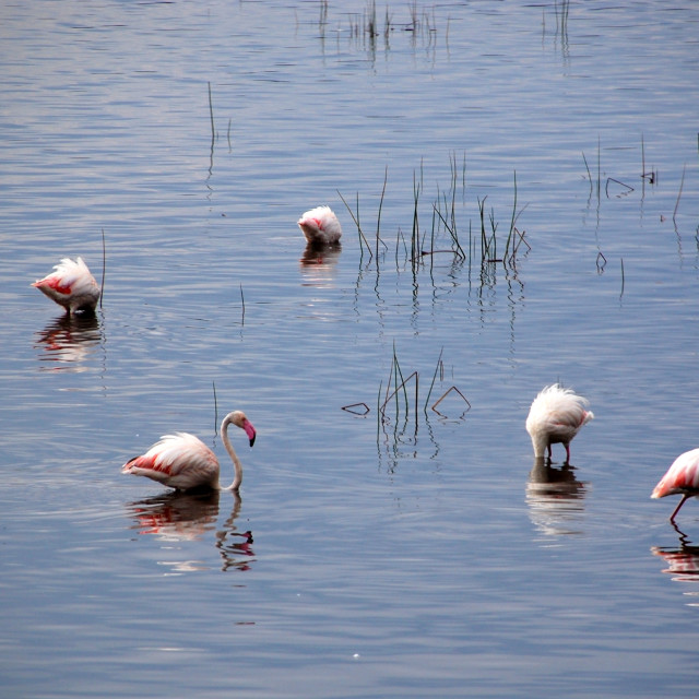 """Nakuru Flamingos"" stock image"