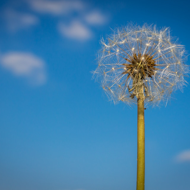 """""""carline thistle in the sky"""" stock image"""