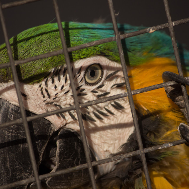 """""""Parrot (macaw) in the cage"""" stock image"""