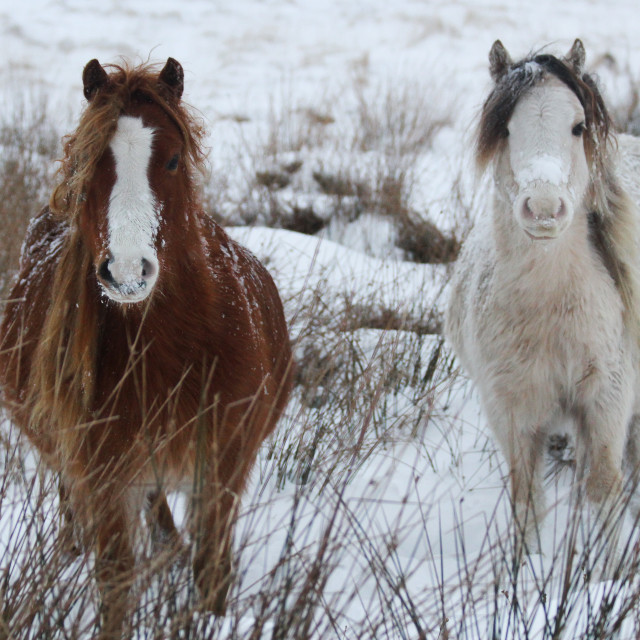 """Snow Ponies"" stock image"