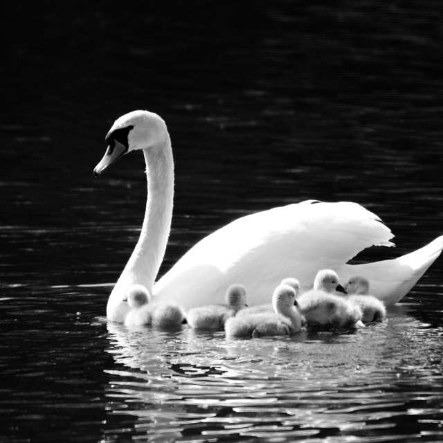 """Mother Swan and Cygnets"" stock image"