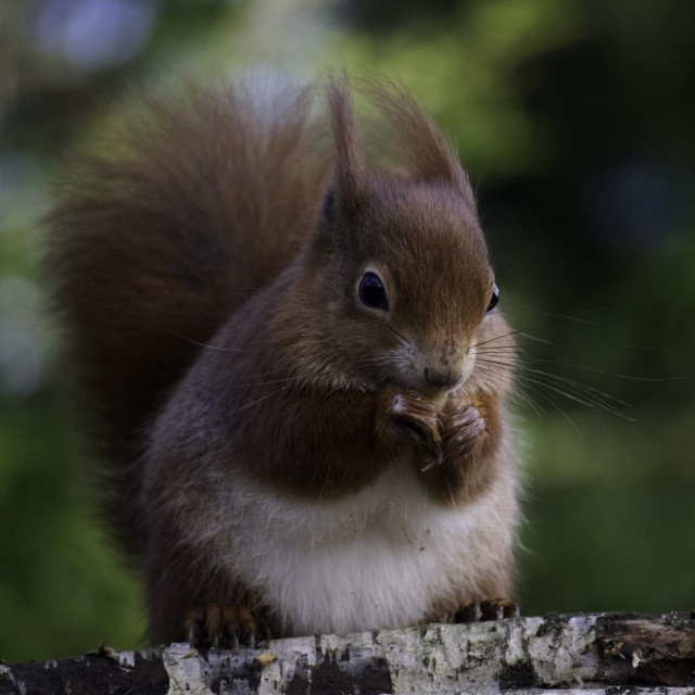 """The red Squirrel"" stock image"