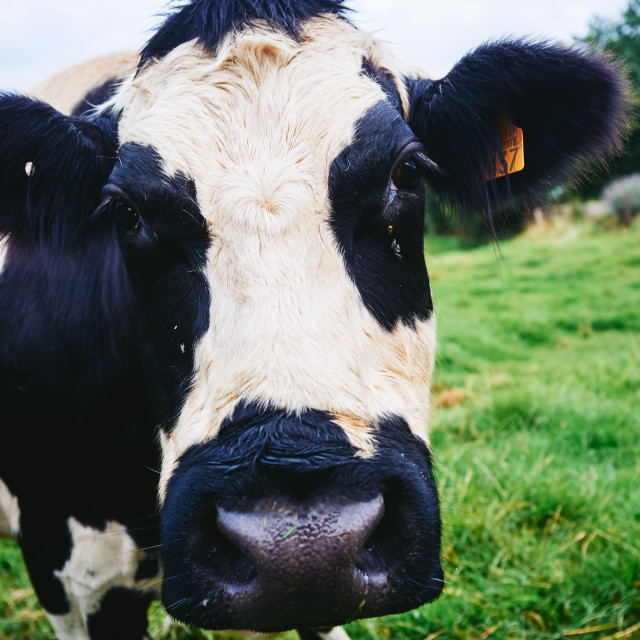 """A cow"" stock image"