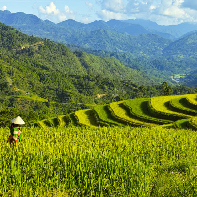 """Women at Rice terraces on mountain"" stock image"