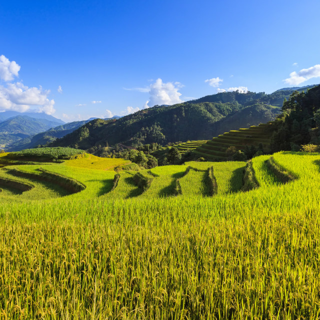 """Rice terraces on mountain"" stock image"