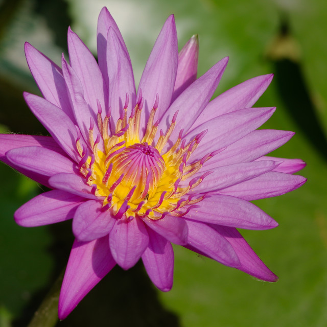 """""""Nice waterlily in the sunlight"""" stock image"""