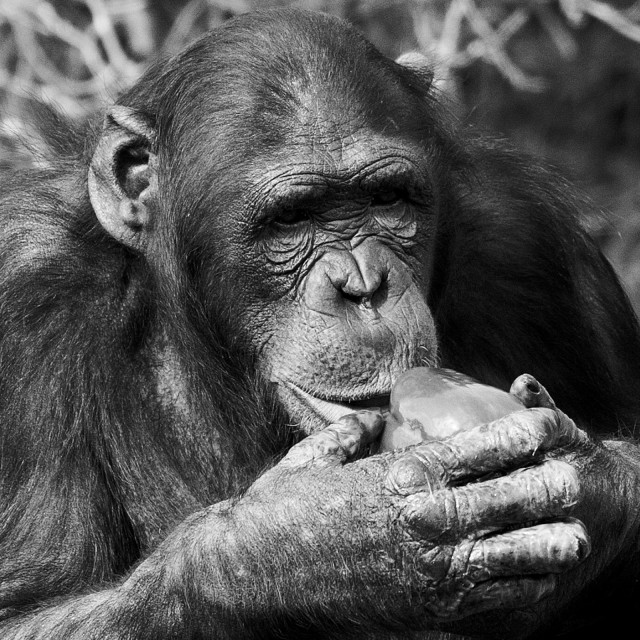 """Chimpanzee eating a pepper"" stock image"