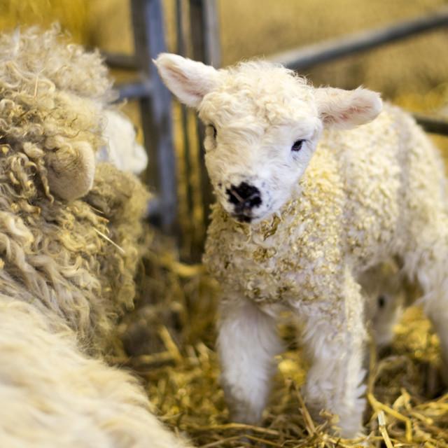 """Lamb & Mother in Pen"" stock image"