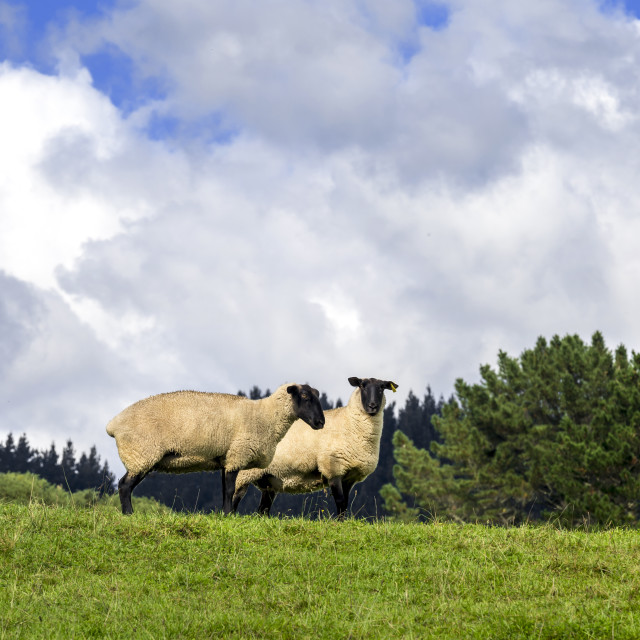 """Two Shy Sheep"" stock image"