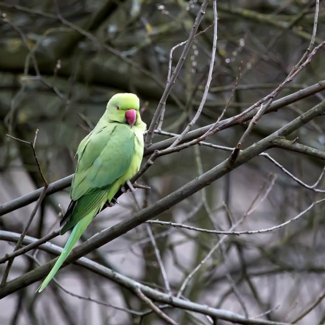 """""""Ring Necked Parakeet."""" stock image"""