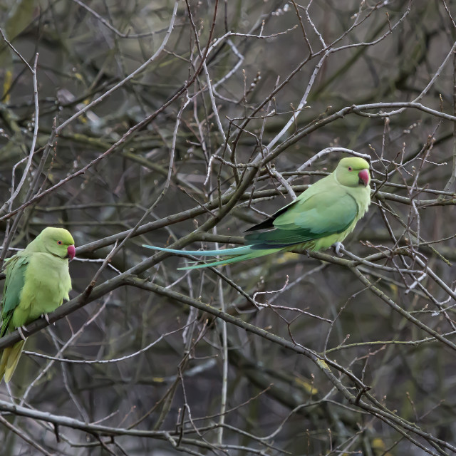 """""""Two Ring Necked Parakeets 1."""" stock image"""