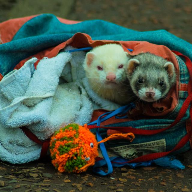 """Bag of ferrets"" stock image"