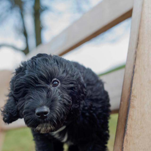 """Cockapoo Puppy"" stock image"
