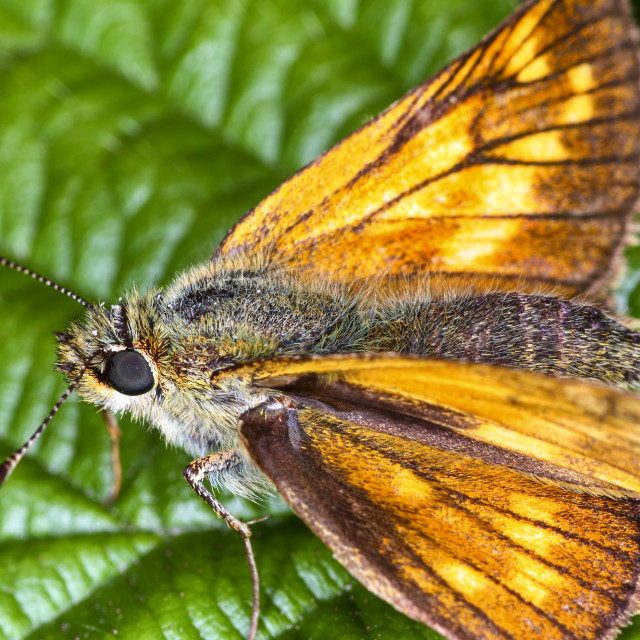 """Skipper butterfly"" stock image"