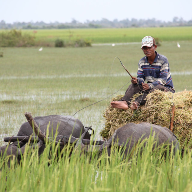 """a hard day's work in a paddyfield"" stock image"