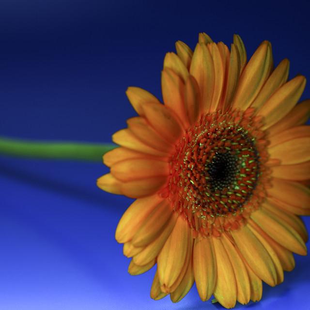 """Gerbera daisy"" stock image"