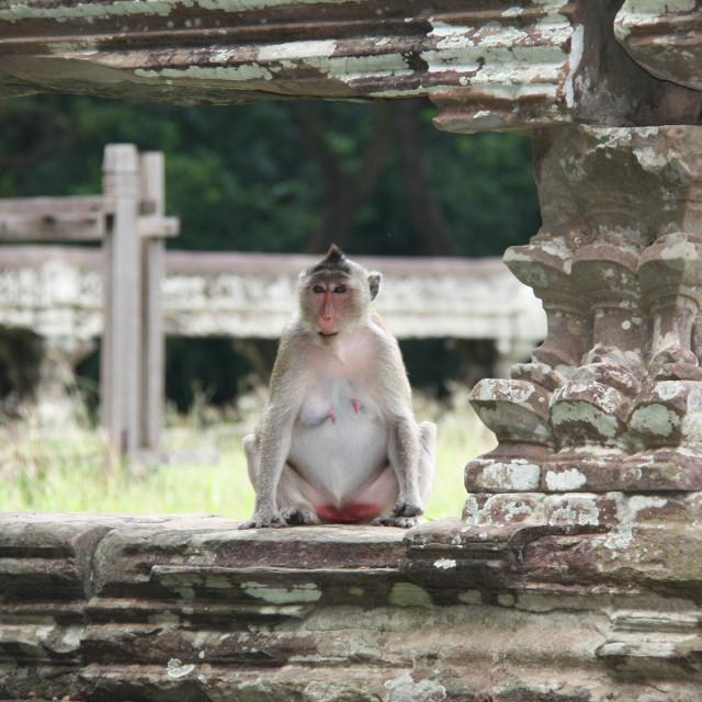 """""""Monkey sheltering at Angkor Wat"""" stock image"""