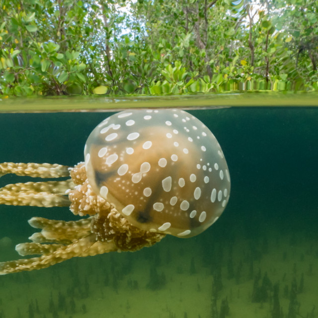 """Jellyfish over-under"" stock image"