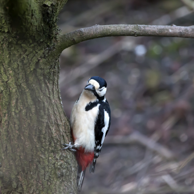 """""""Great Spotted Wood Pecker."""" stock image"""