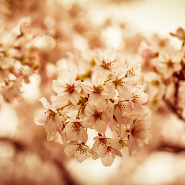"""Sakura Time"" stock image"