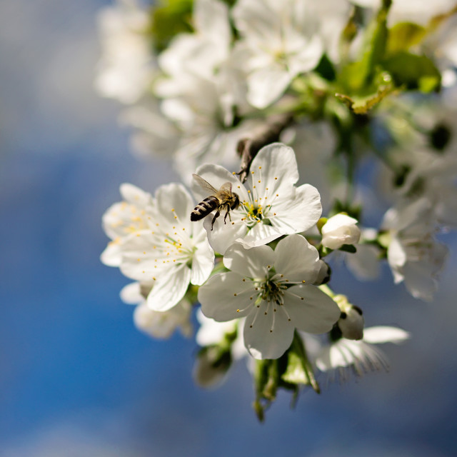"""Flowering cherry branch"" stock image"
