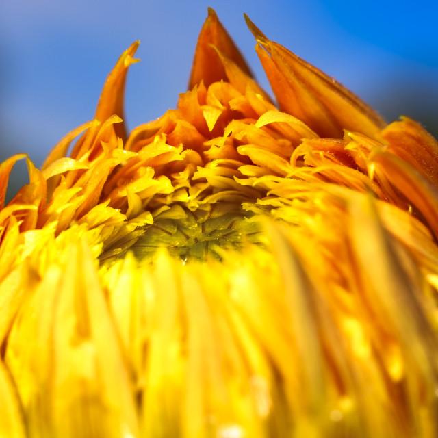 """Dahlia flower"" stock image"