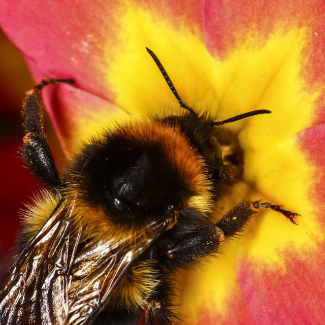 """Bee pollinating"" stock image"