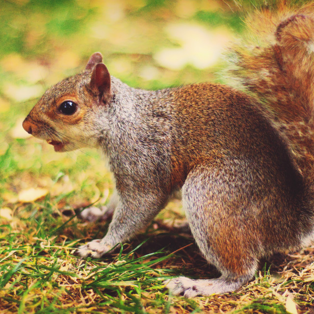 """Squirrel in London"" stock image"