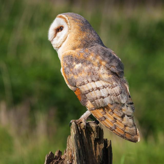 """Barn Owl on a tree stump"" stock image"