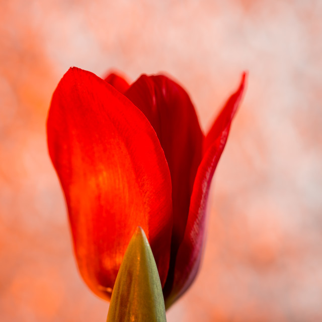 """red tulip with orange bokeh"" stock image"
