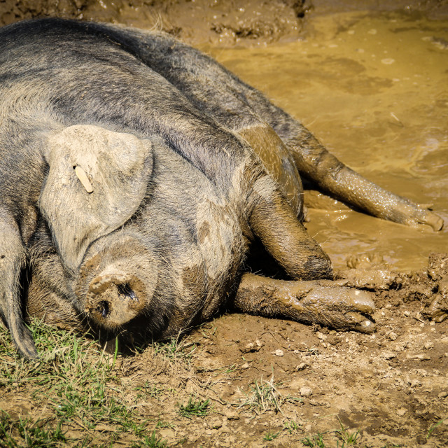 """Muddy Pig"" stock image"