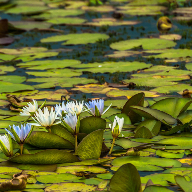 """Waterlilies"" stock image"