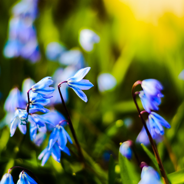 """Blue Spring Flowers"" stock image"