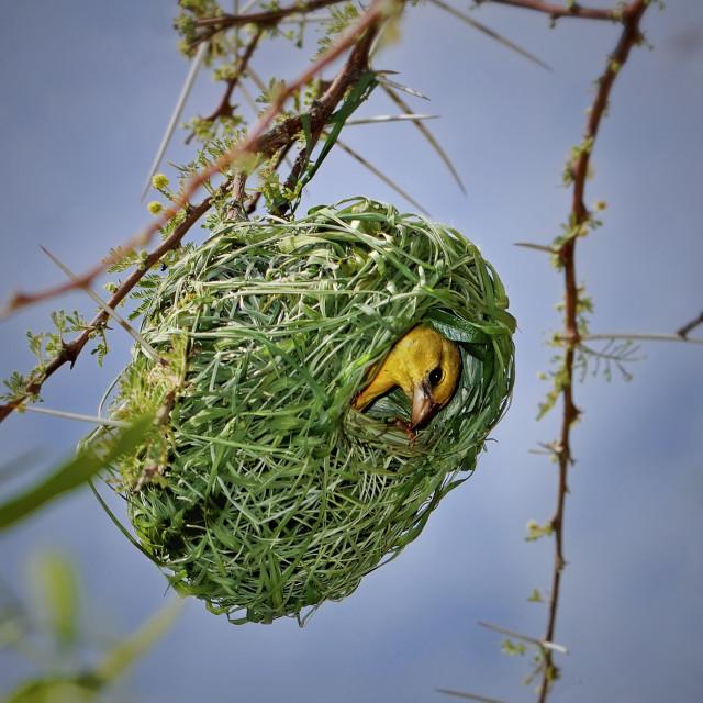 """DSC_6394- Nesting Bird"" stock image"