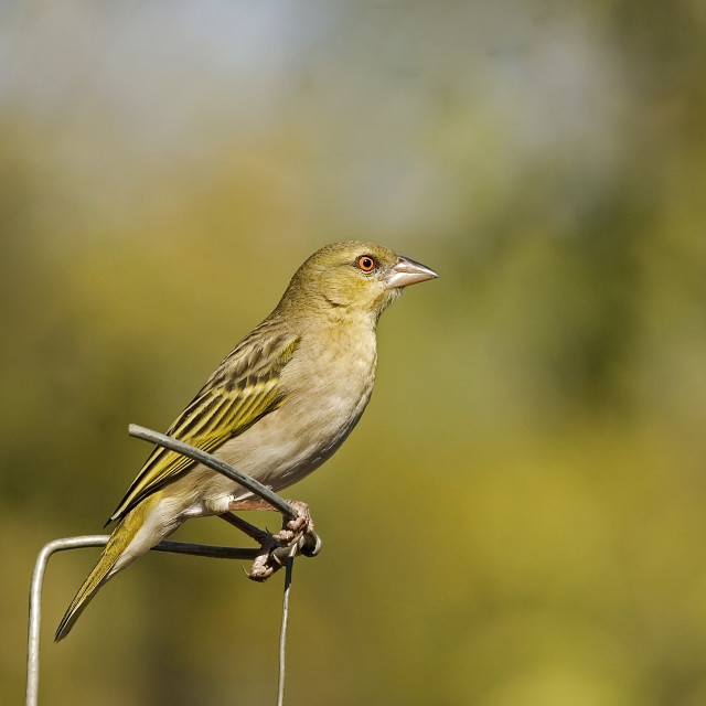 """""""DSC_3815- Bird in my Garden"""" stock image"""