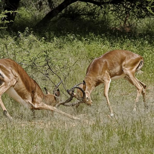 """DSC_0106- Impala Fight"" stock image"