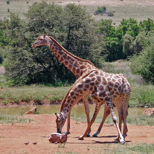 """""""DSC_7168- Giraffe"""" stock image"""